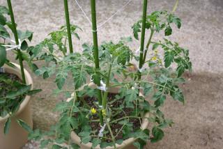 Tomato06173
