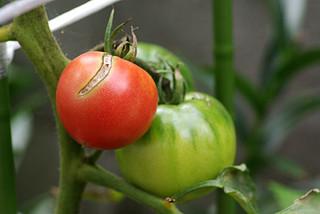 Tomato0721